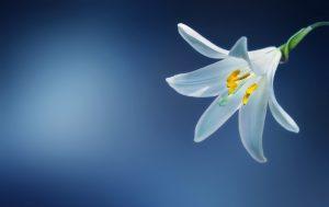 biała lilia. pożegnania, spadek,